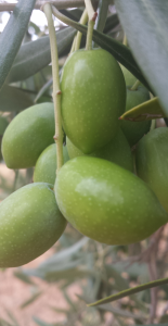 aceituna propiedades saludables aceites de oliva oleove