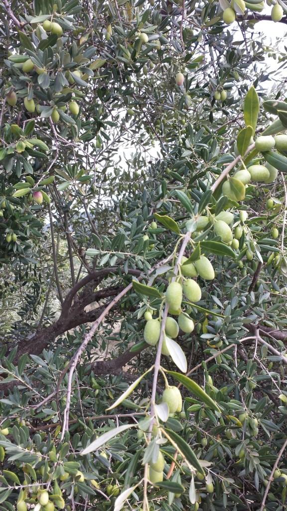 Aceitunas verdes oleove olivar ecologico