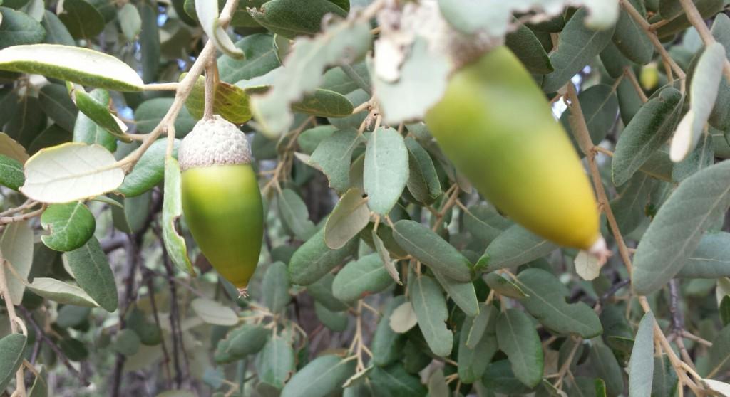 Bellotas olivar ecologico oleove
