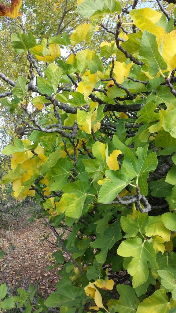 Higuera color otoño oleove ecologico