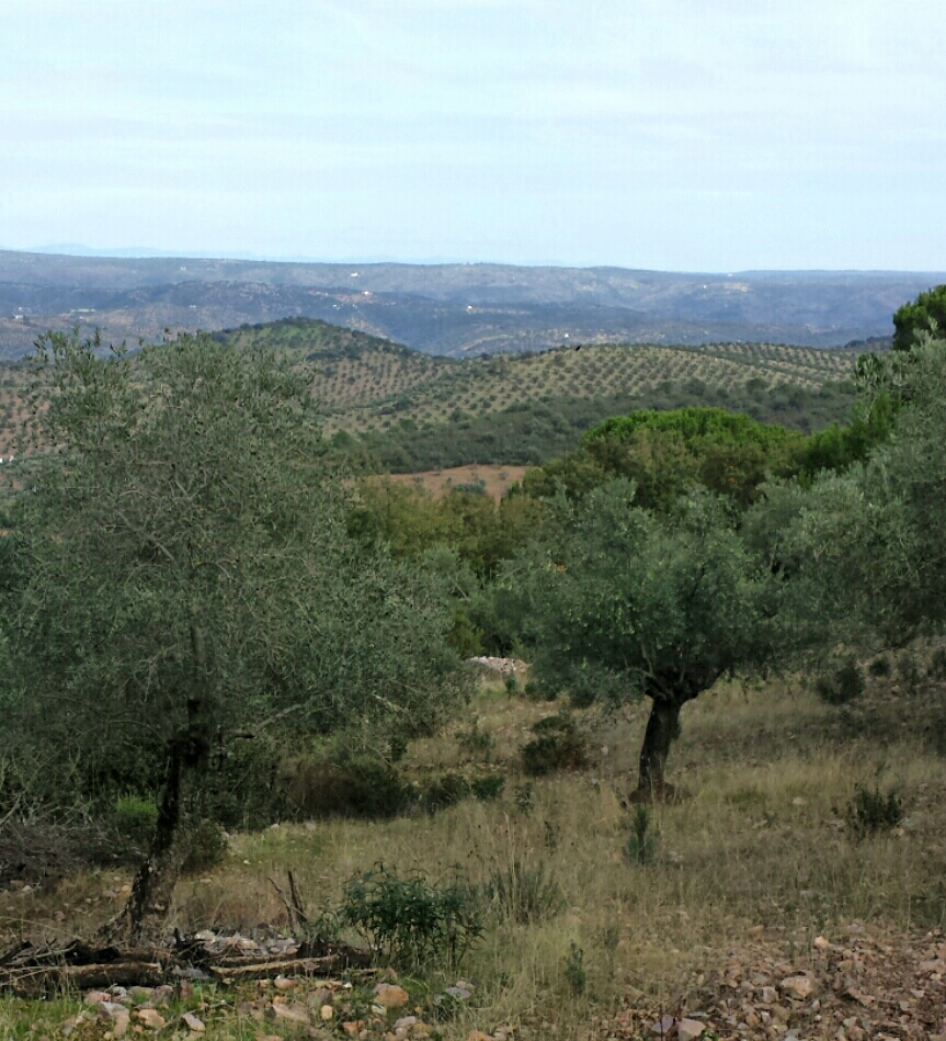 Olivar ecologico oleove