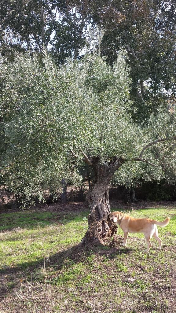 Olivo ecologico oleove