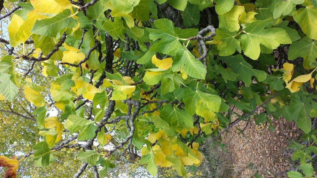 Higuera color otoño oleove ecológico
