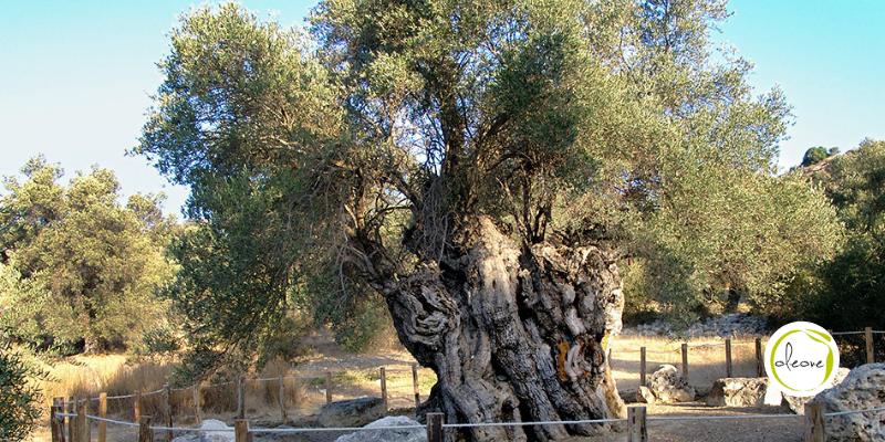 Los olivos milenarios y su aceite de oliva virgen extra.